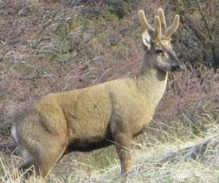 The endangered huemul deer