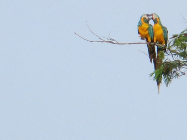 Blue-throated macaws in Bolivia