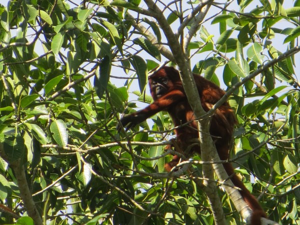 Howler monkey in Bolivia